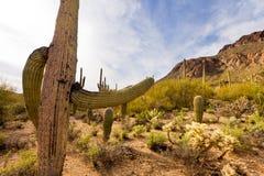 Abandone el paisaje del Saguaro NP cerca de Tucson AZ LOS E.E.U.U. Imagen de archivo libre de regalías