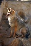Abandone el zorro que se sienta en el ambiente natural de las rocas Imágenes de archivo libres de regalías