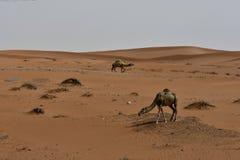 Abandone la arena y los camellos libres, en el corazón de la Arabia Saudita en la manera a Riad Fotografía de archivo libre de regalías