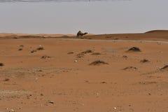 Abandone la arena y los camellos libres, en el corazón de la Arabia Saudita en la manera a Riad Fotos de archivo libres de regalías
