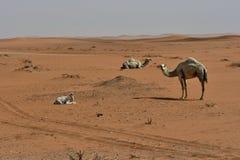 Abandone la arena y los camellos libres, en el corazón de la Arabia Saudita en la manera a Riad Imagenes de archivo