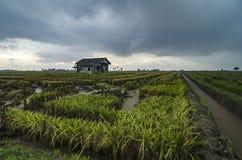 Abandone la casa de madera rodeada por el campo de arroz con el fondo dramático de la lluvia de las nubes Foto de archivo