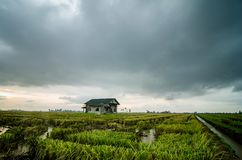 Abandone la casa de madera rodeada por el campo de arroz con el fondo dramático de la lluvia de las nubes Fotos de archivo