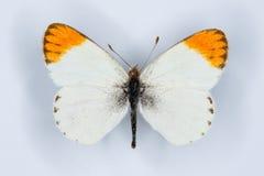 Abandone la extremidad anaranjada, la pequeña extremidad anaranjada o el butterfl anaranjado minúsculo de la extremidad Fotografía de archivo