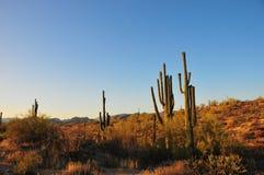 Abandone la puesta del sol del paisaje con gigantea del Carnegiea del cactus del Saguaro Imagen de archivo libre de regalías