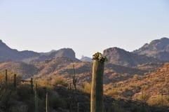 Abandone la puesta del sol del paisaje con gigantea del Carnegiea del cactus del Saguaro Foto de archivo