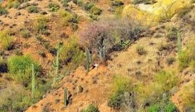 Abandone la puesta del sol del paisaje con gigantea del Carnegiea del cactus del Saguaro Imágenes de archivo libres de regalías