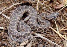Abandone la serpiente de cascabel (occidental) de Massasauga Fotografía de archivo