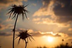 Abandone la silueta del cardo con puesta del sol borrosa en fondo Fotos de archivo libres de regalías