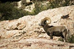 Abandone las ovejas de carnero con grandes cuernos en la roca roja NCA Nevada Fotos de archivo