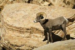 Abandone las ovejas de carnero con grandes cuernos en la roca roja NCA Nevada Imagen de archivo libre de regalías