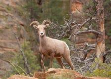 Abandone las ovejas de cuernos grandes en el país del barranco del parque de Zion National con los acantilados y el pino ponderos Imagen de archivo