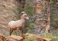 Abandone las ovejas de cuernos grandes que se colocan a la izquierda y que miran hacia la derecha en el país del barranco del par Foto de archivo