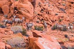Abandone las ovejas grandes del cuerno en el valle del parque de estado del fuego, Nevada Fotografía de archivo libre de regalías