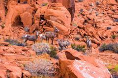 Abandone las ovejas grandes del cuerno en el valle del parque de estado del fuego, Nevada Fotos de archivo