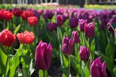 Abandone a los tulipanes coloreados con las flores rojas en un jardín en Lisse, red Fotografía de archivo