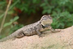 Abandone o lagarto Spiny (magister) do Sceloporus - AZ fotos de stock royalty free