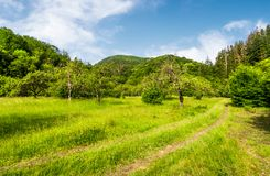 Abandoned apple orchard on a grassy field. Lovely mountainous landscape in summertime stock photography
