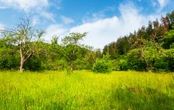 Abandoned apple orchard in mountains. Abandoned apple orchard. lovely springtime scenery among forested mountains Stock Image