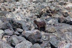 Abandoned Baby Goat Royalty Free Stock Photo