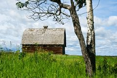 Abandoned barn and aspen tree in summer Royalty Free Stock Photo