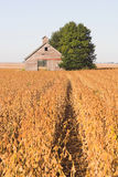 Abandoned Barn and Soybean Field. An abandoned barn in a soybean field during harvest time Stock Images
