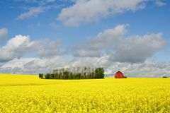 Abandoned barn in summer canola Royalty Free Stock Image