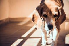 Abandoned beagle dog. Stray dog sad eyes royalty free stock image