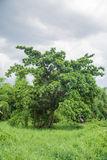 Abandoned Big tree. On messy green grass field Royalty Free Stock Image