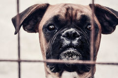 Abandoned boxer in a shelter. Looking through the bars Stock Photos