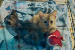 Thai Cat in the cage, focus selective. Abandoned cat behind cage soft focus at pet adoption stock photography