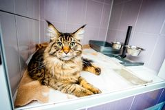 Abandoned cat laying  in the glassify cage. And looking in camera Royalty Free Stock Photo