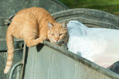 Abandoned cat looking for food in the dumpster garbage can to eat on the street. Royalty Free Stock Photography