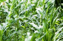 Abandoned corn plantation Stock Photo