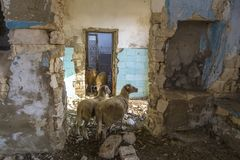 Abandoned destroyed houses. Sheep are hiding from the heat in the ruins. Abandoned villages in Crimea. stock images