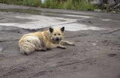 Abandoned dirty dog lies in the mud stock photo