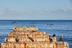 Abandoned dock with pelicans royalty free stock photo