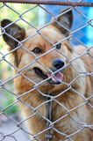 Animal shelter.Boarding home for dogs. Abandoned dog in the kennel,homeless dog behind bars in an animal shelter.Sad looking dog behind the fence looking out Royalty Free Stock Photo