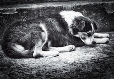 Abandoned dog laying on the street Royalty Free Stock Photo