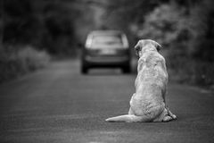 Abandoned dog on the road. Abandoned dog breed labrador retriever on the road stock photo