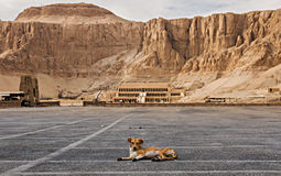 Abandoned dog with temple of hatshepsut in the background royalty free stock photo