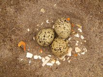 Oyster Catcher Eggs. Abandoned eggs left by the seabird called an Oystercatcher on a sandy Irish beach Stock Photo