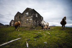 Abandoned farm. Icelandic horses by an abandoned farm in Iceland Stock Photo