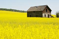 Abandoned farmhouse in canola Stock Image