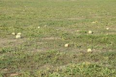 An abandoned field of watermelons and melons. Rotten watermelons. Remains of the harvest of melons. Rotting vegetables on the fiel. D Stock Photo