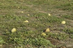 An abandoned field of watermelons and melons. Rotten watermelons. Remains of the harvest of melons. Rotting vegetables on the fiel. D Royalty Free Stock Photo
