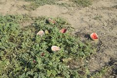 An abandoned field of watermelons and melons. Rotten watermelons. Remains of the harvest of melons. Rotting vegetables on the fiel. D Royalty Free Stock Images