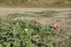 An abandoned field of watermelons and melons. Rotten watermelons. Remains of the harvest of melons. Rotting vegetables on the fiel. D Stock Image