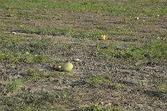 An abandoned field of watermelons and melons. Rotten watermelons. Remains of the harvest of melons. Rotting vegetables on the fiel. D Royalty Free Stock Photography