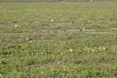 An abandoned field of watermelons and melons. Rotten watermelons. Remains of the harvest of melons. Rotting vegetables on the fiel. D Stock Photography